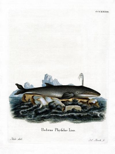 Fin Whale--Giclee Print