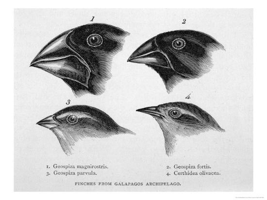Finches from the Galapagos Islands Observed by Darwin-R^t^ Pritchett-Giclee Print
