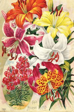 Fine Hardy Lilies
