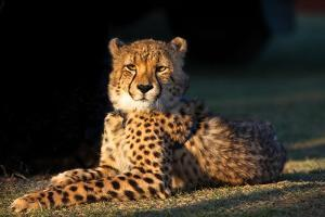 Regal Cheetah Basking in the Afternoon Sun at Umkondo Cheetah Rehabilitation Centre Near Mosselbay by Fiona Ayerst
