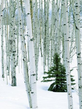 https://imgc.artprintimages.com/img/print/fir-in-aspen-grove-dixie-national-forest-utah-usa_u-l-p84ioy0.jpg?p=0