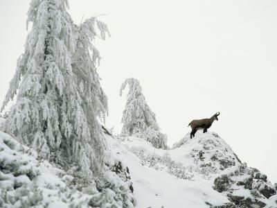 Fir Trees and Chamois in Snow, Berchtesgaden National Park, Germany-Norbert Rosing-Photographic Print