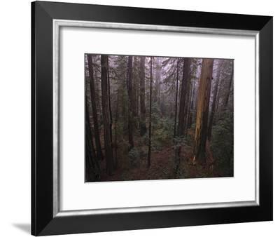 Fire Damage in World's Largest Remaining Old-Growth Redwood Forest-Michael Nichols-Framed Photographic Print