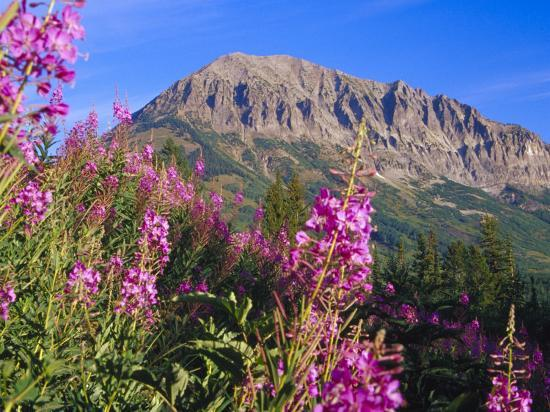Fireweed and Mt. Gothic near Crested Butte, Colorado, USA-Julie Eggers-Photographic Print