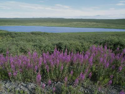 Fireweed Blooms on the Tundra Near a Lake-Rich Reid-Photographic Print