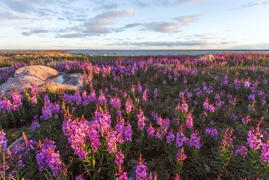 Fireweed, Hudson Bay, Canada-Paul Souders-Photographic Print