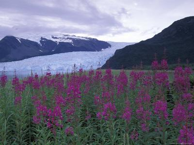 Fireweed in Aialik Glacier, Kenai Fjords National Park, Alaska, USA-Paul Souders-Photographic Print