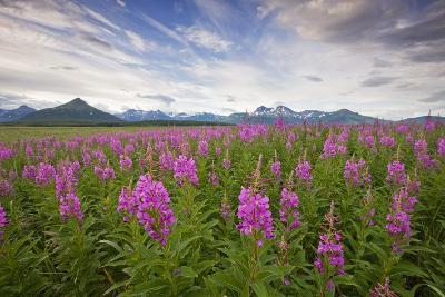 Fireweed in Meadow at Hallo Bay in Katmai National Park-Paul Souders-Photographic Print