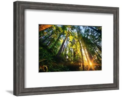 First Forest Light, Sun and Trees, Prairie Coast Redwoods, California Coast-Vincent James-Framed Photographic Print