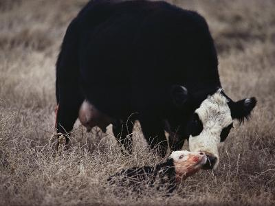 First Order of the Day for a Newborn Calf is a Wash by its Mother-Farrell Grehan-Photographic Print