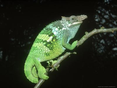 Fischers Chameleon, Male, Tanzania-Andrew Bee-Photographic Print