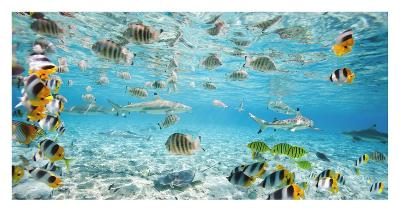 Fish and sharks in Bora Bora lagoon-Pangea Images-Art Print