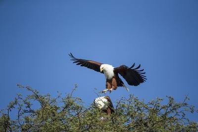 Fish Eagles Mating, Chobe National Park, Botswana-Paul Souders-Photographic Print