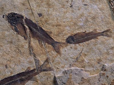 Fish Fossils Found at Sihetun, Liaoning Province, China-O^ Louis Mazzatenta-Photographic Print