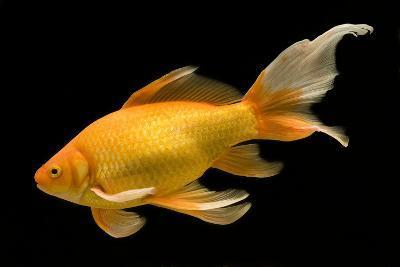Fish Goldfish in Tank Black Background--Photographic Print