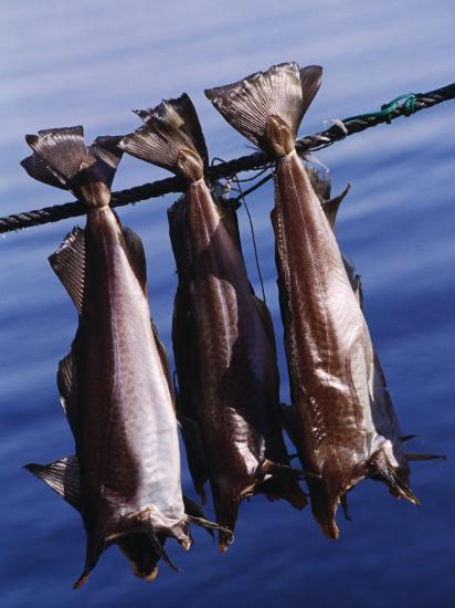 Fish Hanging to Dry, Traditional Method of Drying Fish in Iceland--Photographic Print