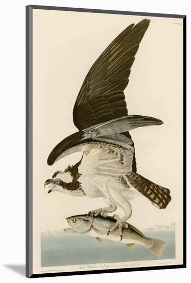Fish Hawk or Osprey-John James Audubon-Mounted Premium Giclee Print