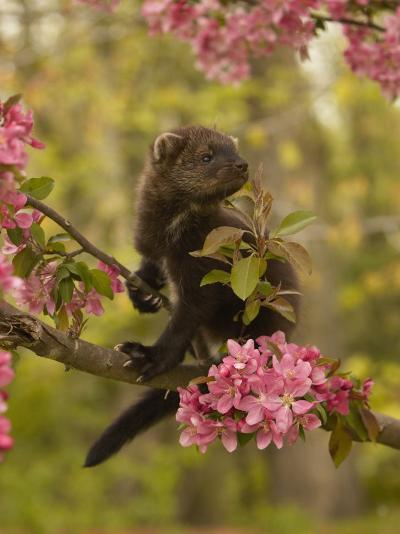 Fisher, Martes Pennanti, Juvenile in a Flowering Tree, North America-Jack Michanowski-Photographic Print