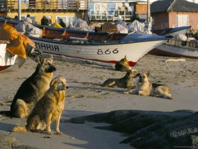 Fishermen's Dogs Awaiting Their Return, Horcon, Chile, South America-Mark Chivers-Photographic Print