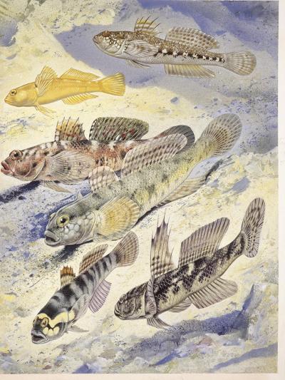 Fishes: Acipenseridae (Sturgeons) Family: Starry Sturgeon (Acipenser Stellatus)--Giclee Print