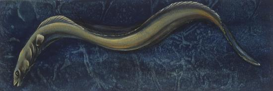 Fishes: Anguilliformes, European Eel (Anguilla Anguilla)--Giclee Print