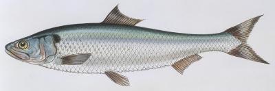 Fishes: Clupeiformes Clupeidae - Allis Shad (Alosa Alosa)--Giclee Print