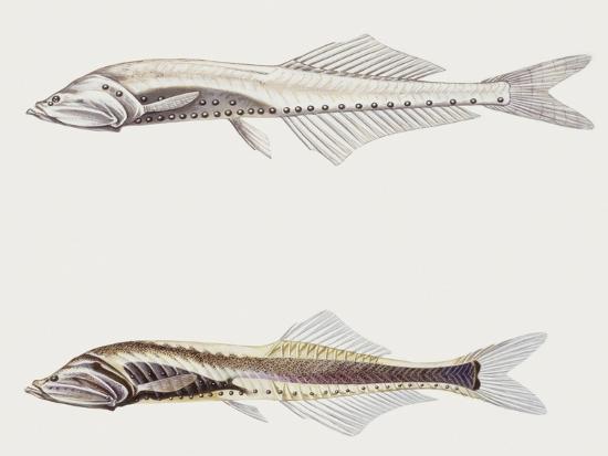 Fishes: Clupeiformes Gonostomatidae (Bristlemouths) Cyclothone Pygmaea--Giclee Print