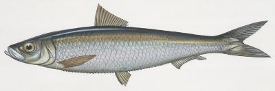 Fishes: Clupeiformes, Sardinella (Sardinella Aurita)--Giclee Print