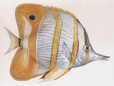 https://imgc.artprintimages.com/img/print/fishes-copperband-butterflyfish-chelmon-rostratus_u-l-pvs0y80.jpg?p=0