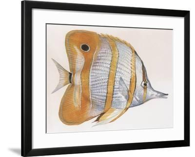 Fishes: Copperband Butterflyfish (Chelmon Rostratus)--Framed Giclee Print