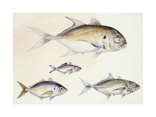 Fishes: Crevalle Jack (Caranx Hippos)--Giclee Print