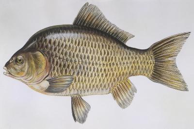 Fishes: Cypriniformes Cyprinidae - Prussian Carp (Carassius Gibelio)--Giclee Print