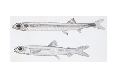 Fishes: Evermannellidae - Balbo Sabretooth (Evermannella Balbo)--Giclee Print