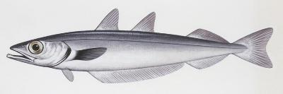 Fishes: Gadiformes Gadidae, Blue Whiting, (Micromesistius Poutassou)--Giclee Print