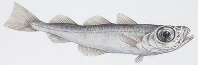 Fishes: Gadiformes - Silvery Cod (Gadiculus Argenteus Argenteus)--Giclee Print
