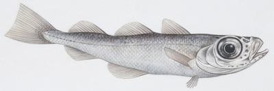 https://imgc.artprintimages.com/img/print/fishes-gadiformes-silvery-cod-gadiculus-argenteus-argenteus_u-l-pv2tja0.jpg?p=0