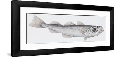 Fishes: Gadiformes - Silvery Cod (Gadiculus Argenteus Argenteus)--Framed Giclee Print
