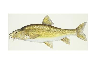 Fishes: Italian Barbel (Barbus Barbus Plebejus)--Giclee Print
