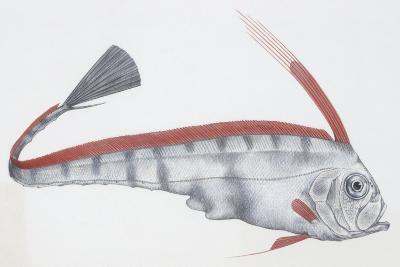 Fishes: Lampriformes Trachipteridae, Scalloped Ribbonfish (Zu Cristatus)--Giclee Print