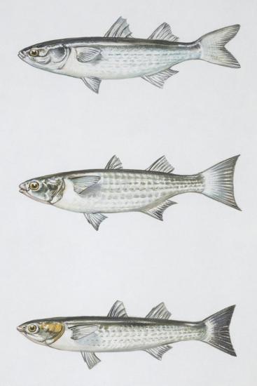Fishes: Mugiliformes--Giclee Print