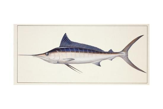Fishes: Percifirmes Istiophoridae, Striped Marlin (Tetrapturus Audax)--Giclee Print