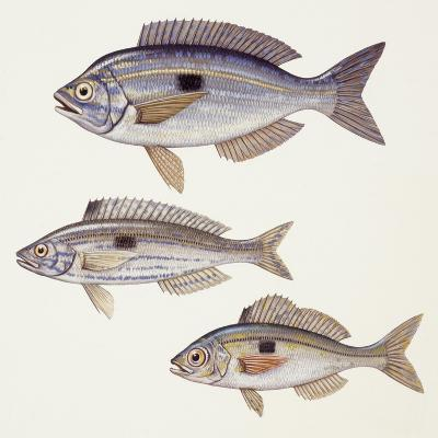 Fishes: Perciformes Centracanthidae - Picarel (Spicara Smaris)--Giclee Print