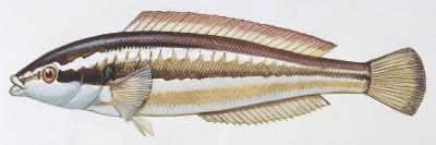 Fishes: Perciformes Labridae - Mediterranean Rainbow Wrasse (Coris Julis)--Giclee Print