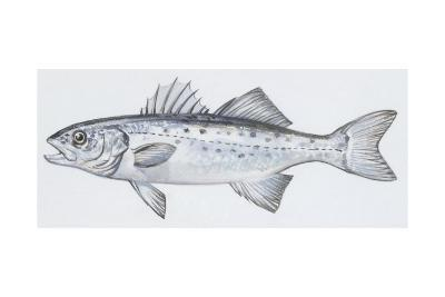 Fishes: Perciformes Moronidae, European Seabass (Dicentrarchus Labrax)--Giclee Print