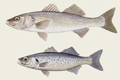 Fishes: Perciformes Moronidae--Giclee Print