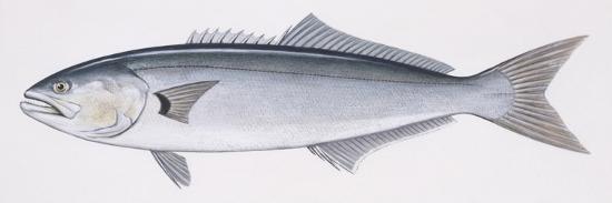 Fishes: Perciformes Pomatomidae, Bluefish (Pomatomus Saltatrix)--Giclee Print
