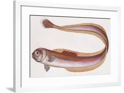 Fishes: Perciformes, Red Bandfish - (Cepola Rubescens)--Framed Giclee Print