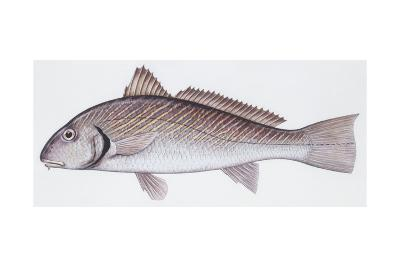 Fishes: Perciformes Sciaenidae, Shi Drum (Umbrina Cirrosa)--Giclee Print