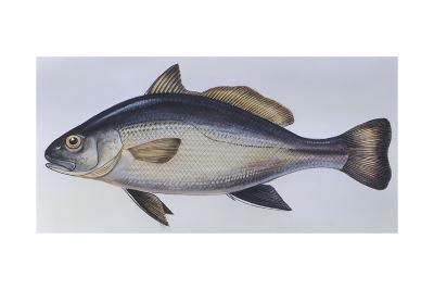 Fishes: Perciformes Sciaenidae - Shi Drum (Umbrina Cirrosa)--Giclee Print