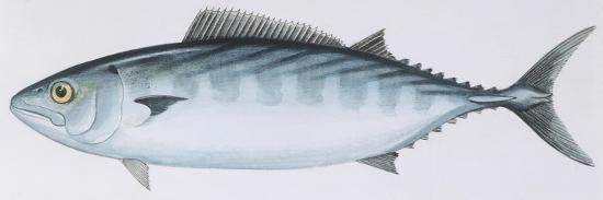 Fishes: Perciformes Scombridae - Atlantic Bonito (Sarda Sarda)--Giclee Print